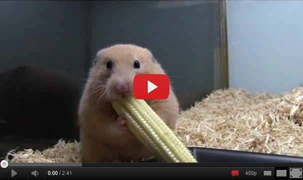Young Hamster Eating Corn