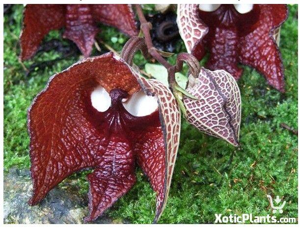 pentecostal orchid
