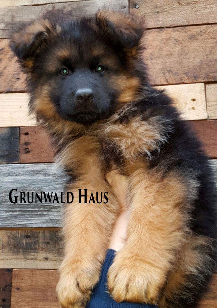 8 Week Old Long Coat German Shepherd Puppy By Grunwald Haus Usa