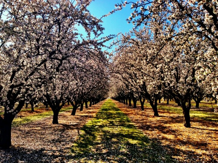 Modesto California, almond orchard.