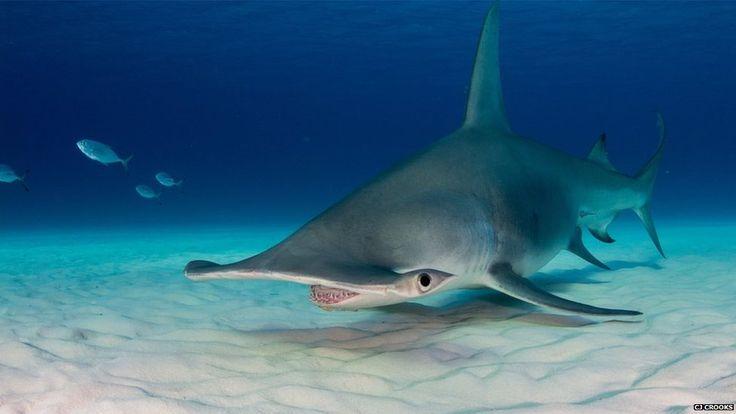 Hammerhead shark near Bimini - BBC