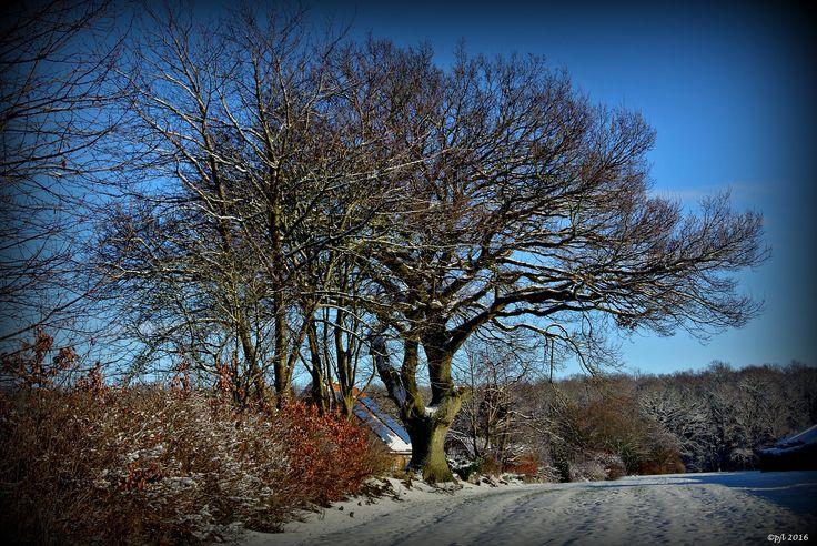 2016.01.17..... Egetræ ved Diget på Frederiksberg er smukt året rundt.........