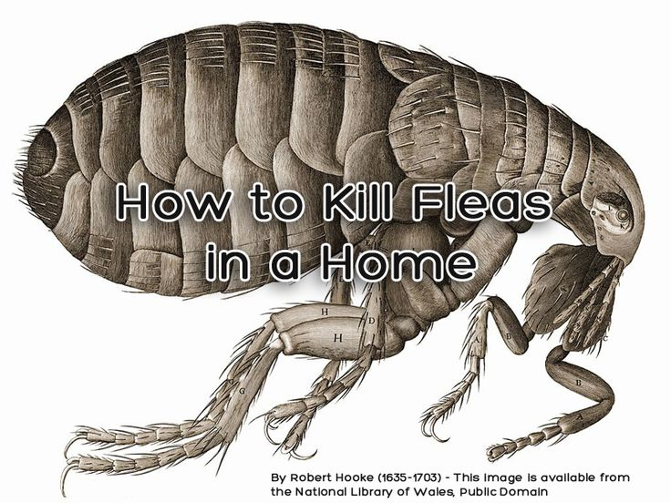 The easiest way to kill fleas is when they are at their most vulnerable—in the egg and larval stages of their development.
