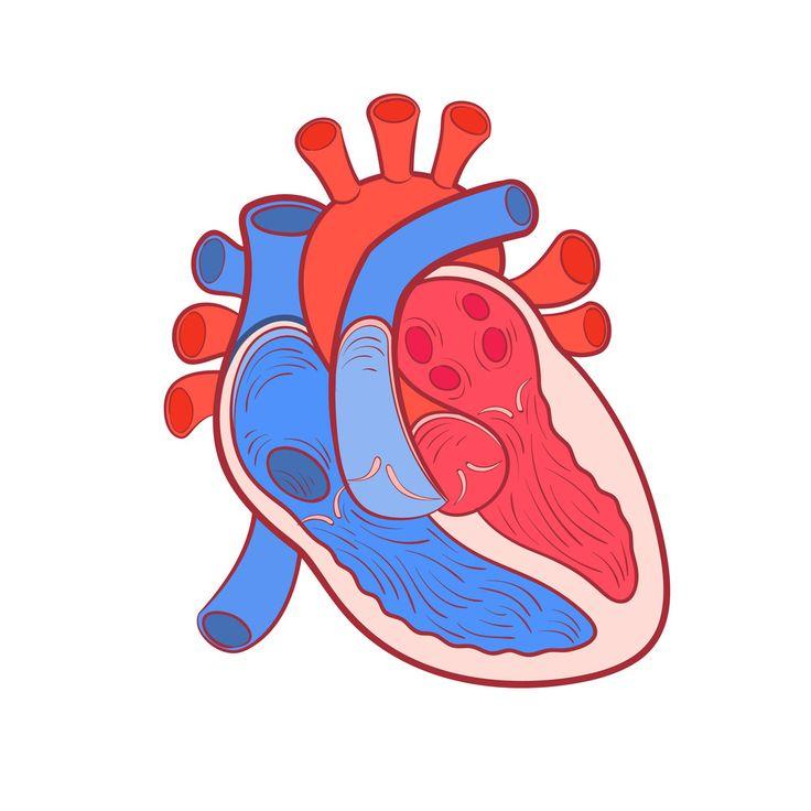 Best 25 Heart diagram ideas on Pinterest | Diagram of the