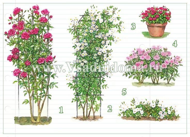 Разведение роз для начинающих – выращивание, уход, обрезка и посадка роз | Сайт о саде, даче и комнатных растениях.