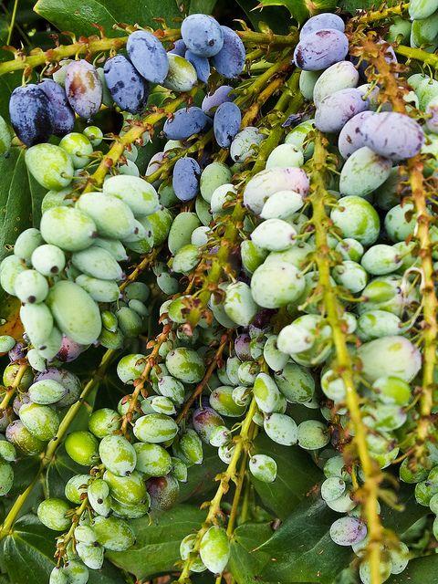 Olives ready to be picked #olives #italy #tree