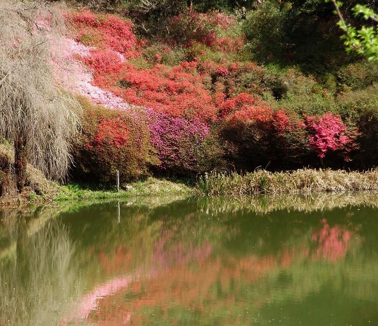 Azaleas. Cheerio Gardens, Haenertsburg near Tzaneen, Limpopo Province, South Africa. Photo by Martie van Niekerk