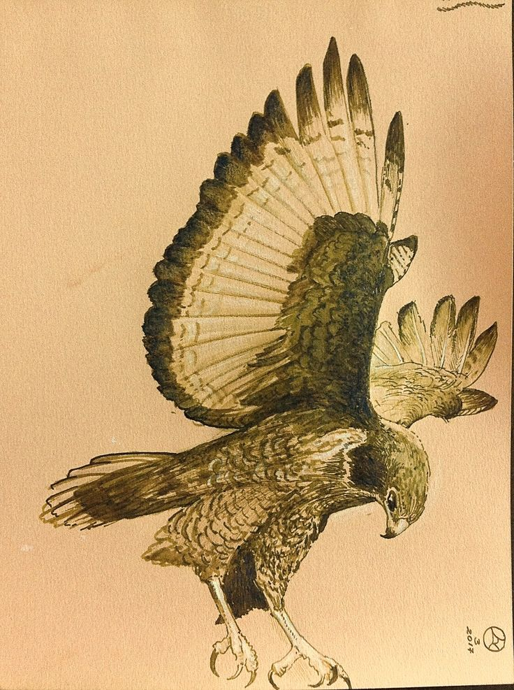 Falcon Quilla, brush and gall ink.