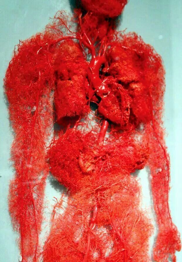 The blood vessels of the human body | Biology | Pinterest ...
