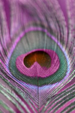 Purple peacock feather.