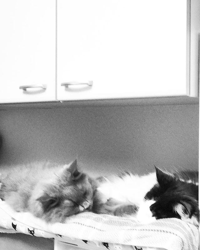 仲良し仲良しな朝〜〜! 💤 💤 .. ... . #猫好きさんと繋がりたい #ねこ #instagramcat #にゃんだふるらいふ #ニャンスタグラム #家猫 #cats #nebelung  #こしあんブルー #猫との暮らし #猫が好き #やっぱり猫が好き #ふわもこ部 #ねこもふ団 #ねこすたぐらむ #愛猫 #グレー猫男子部 #ねこちゃん #グレー猫部 #タボさん #ハチワレ #タボみく#みんねこ