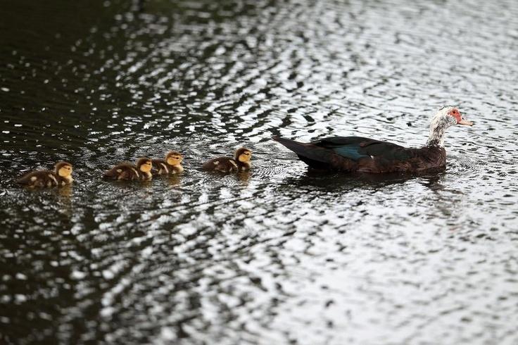 Una cría de patos navega en una laguna de Miami.  Foto: Getty Images