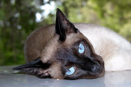 images of siamese cats | ... siamese cats in general adult siamese cats and not just siamese cats