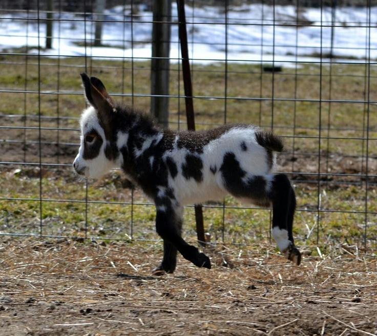 Baby miniature donkey | Pets & animals; housing ...