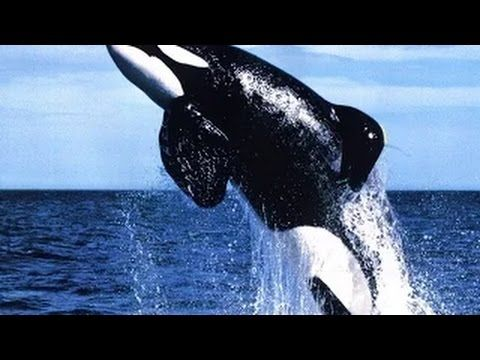 Katil Balinalar – Türkçe Dublaj Belgesel: Katil Balinalar - Türkçe Dublaj… #Belgesel #balinabelgeselinationalgeographic #devbalinalar