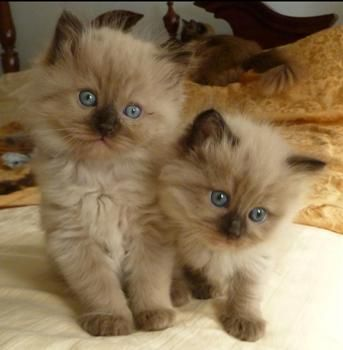 CAROLINA MINK RAGDOLLS PREVIOUS LITTERS
