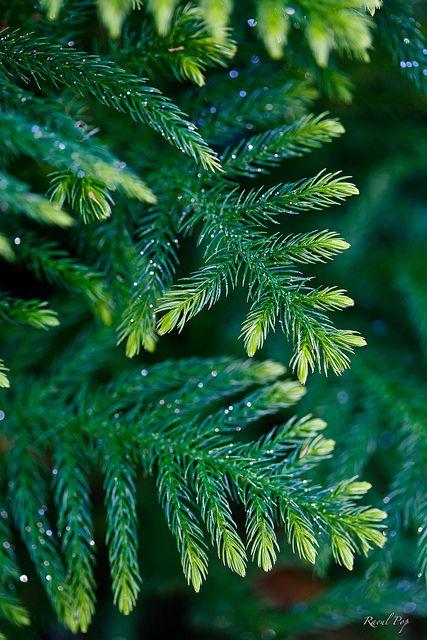 Evergreen sparkles   Flickr: Intercambio de fotos