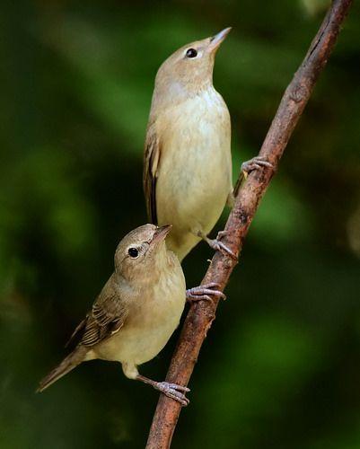 Garden warblers, Sylvia borin