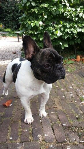 Nell, Beautiful French Bulldog.