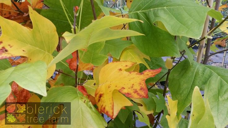 Liriodendron tulipfera – Tulip Tree – Purchase Bare Rooted Trees Online