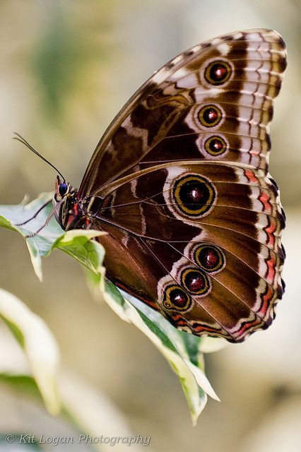 Blue Morpho Butterfly wings up