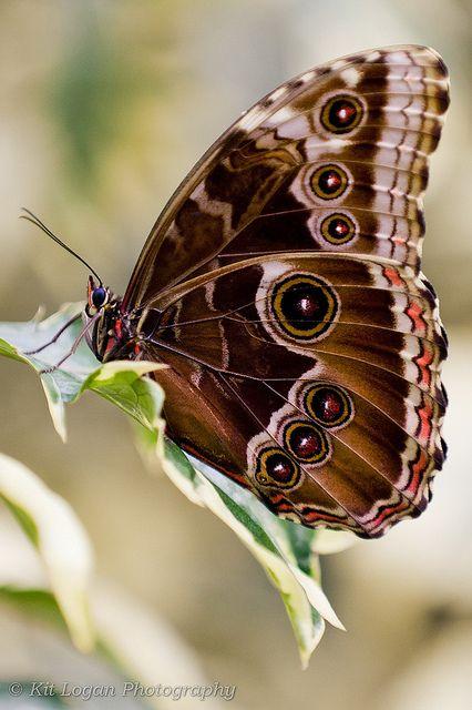 Blue Morpho wings up