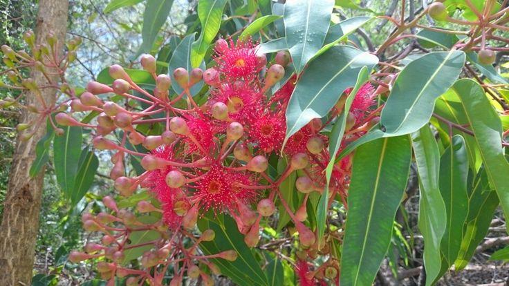 Gumnut flowers - Aussie native flora