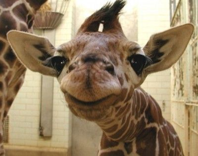 CutieA Kiss, Baby Giraffes, Make Me Laugh, Too Funny, Baby Animals, Smile, So Funny, Cute Babies, Adorable Animal