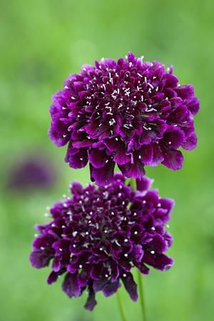Scabiosa atropurpurea 'Burgundy Beau' x 6 into inner circle, 3 into cutting and x 4 into LHS bed.  Bright red, not purple