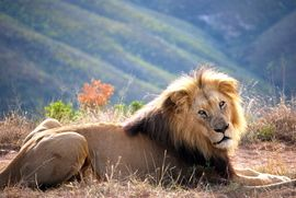 African lion, Botlierskop Private Game Reserve, South Africa