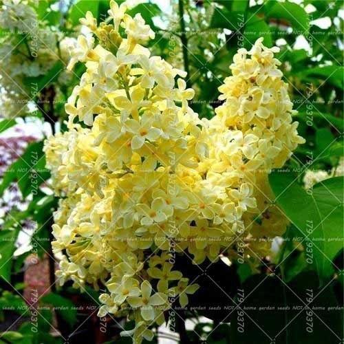 Beautiful Lilac Flower Trees 100 Seeds Garden Idea Lilac Bushes Syringa Vulgaris Lilac Tree