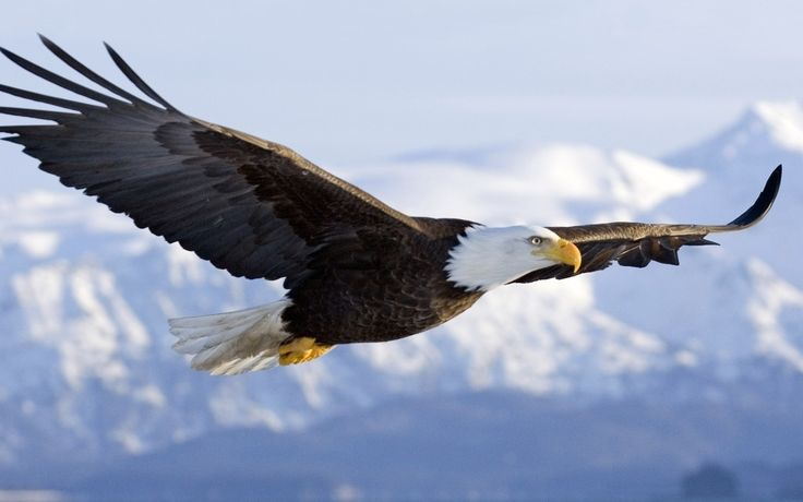 Bald eagles are capable of seeing fish in the water from several hundred feet above, while soaring, gliding or in flapping flight. Description from norjacunningham.wordpress.com. I searched for this on bing.com/images