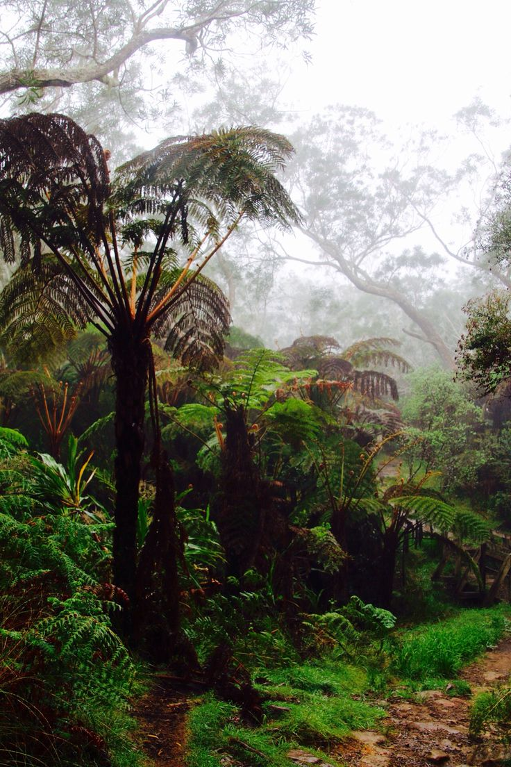 Fongent, fougère arborescente, forêt de Belouve, Ile de la Réunion