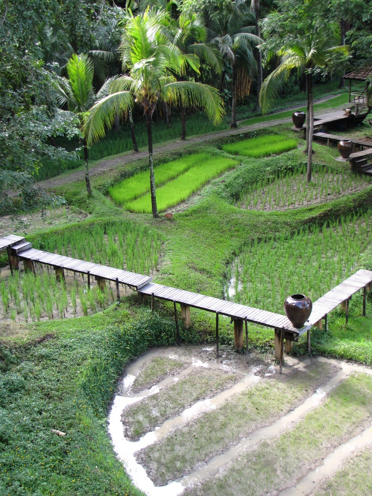 Rice Paddies, Chang Mai, Thailand.