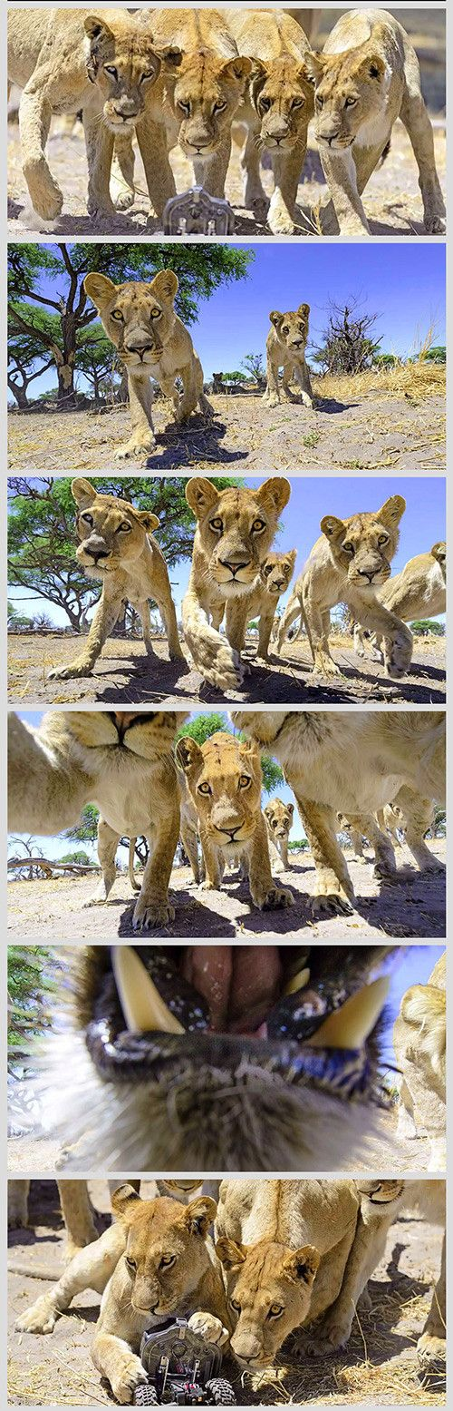 """Chris McLennan, mostly known for his travel, wildlife, tourism and adventure photography, recently went for another extraordinary pursuit by taking close-up photos of wild lions in Botswana with a robot camera assembled with the help of engineer Carl Hansen. The amazing photos were captured by """"Car-L"""", a remote controlled 4×4 camera buggy with a Nikon D800E camera and an 18-35mm lens."""