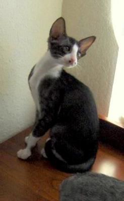 Oriental Bicolour: Bicolour Pet, Animal Pictures, Bicolour Awesome, Awesome Pin, Bout Cat, Oriental Bicolour, Oriental Cat, Animal Pinterest, Cat Breeds