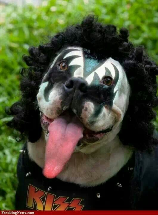 Dog Dressed Like Kiss Funny Dogs Dogs Dog Halloween