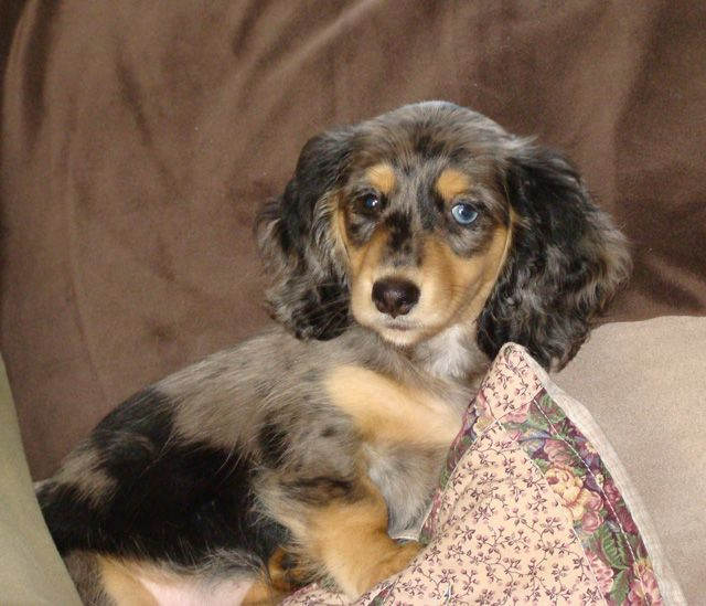 LENA'S MINI DOXIES - Puppies - Miniature Dachshunds - Dog Breeders