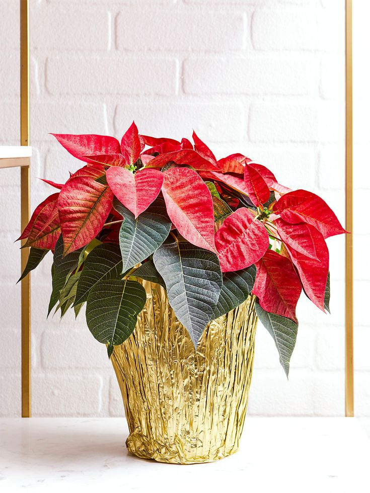 Here S How To Have The Most Beautiful Poinsettias Poinsettia Poinsettia Plant Poinsettia Care