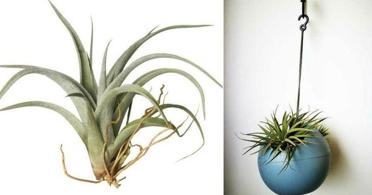 La planta que crece sin necesidad de sustrato es tan bella que TE ENAMORARÁ