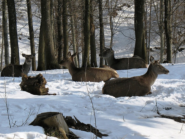 Bursa Uludag National Park:  Red deer by pashazade,