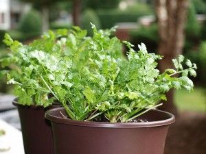 More cilantro growing tips. I need all the help I can get!