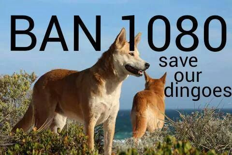 The ignorance in this country is disturbing🤔The benefits that dingoes bring should be taught in our schools! Dingoes are critical in maintaining healthy ecosystems and they're a natural and effective means of maintaining balance in the bush. They keep foxes and cats out of their territories. For without dingoes we will see extinctions like never before, it's up to us to help protect them, to protect our other wildlife.... ~Gary Taylor Photography~