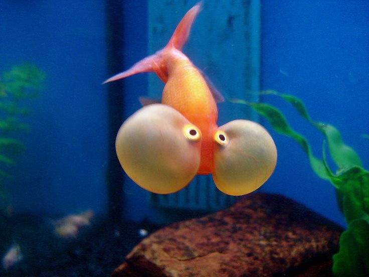 The Solitary Life Of A Bubble Eye Goldfish  ... from PetsLady.com ... The FUN site for Animal Lovers