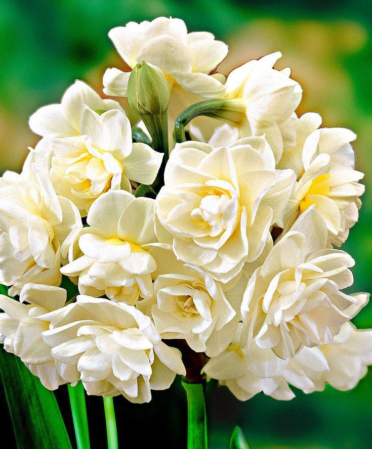 Summer Flowering Narcissi 'Erlicheer'