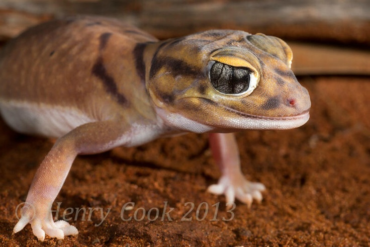 Another unusual #goldfields critter: Smooth Knob-tailed #gecko near Menzies. Normally seen in red sand dune country...