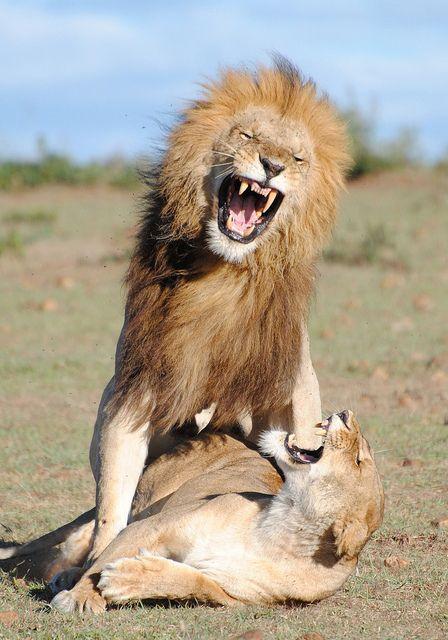 lionsmating 051 by Margot Raggett on Flickr. Wicked Face Expression, Masai Mara #VisitKenya