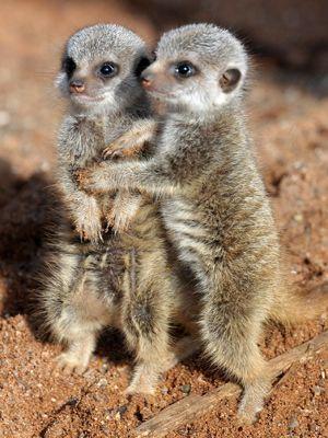 erdmännchen bilder | Kleine Erdmännchen sind auf Futtergaben der erwachsenen Tiere ...