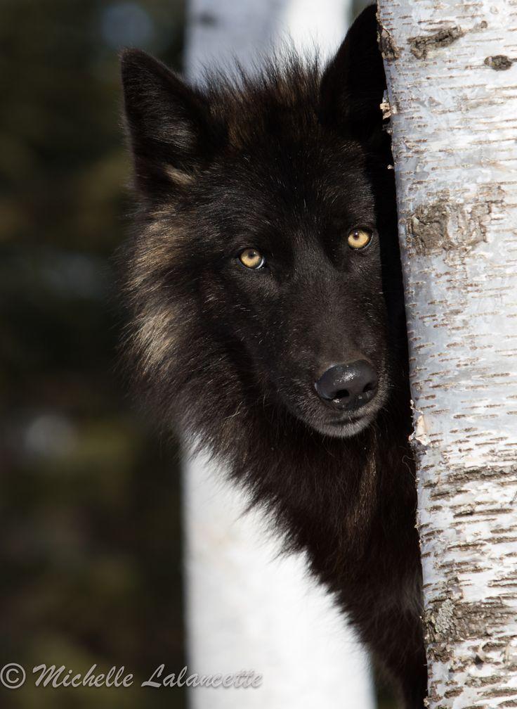 Melanistic Gray Wolf peering around a tree
