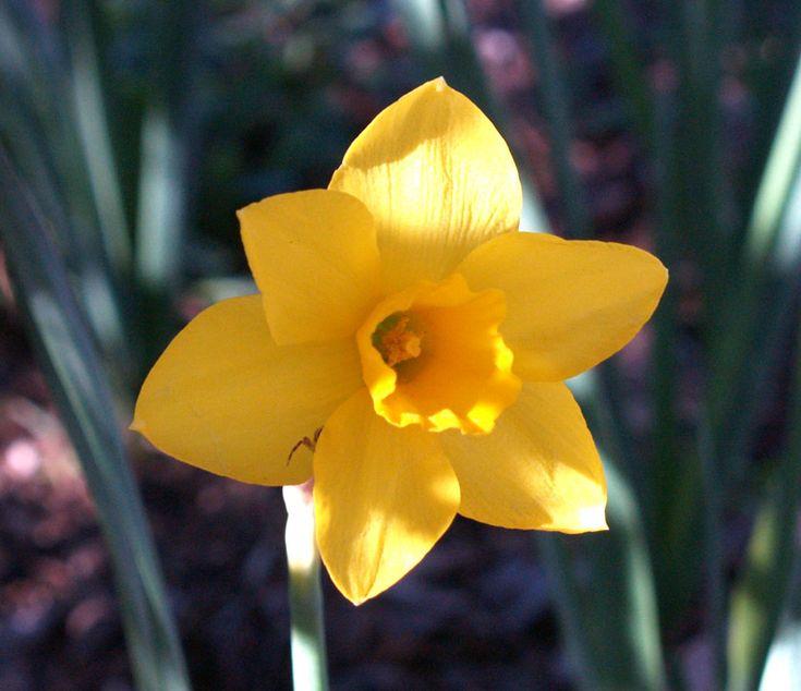 narcissus flower tattoo   Narcissus